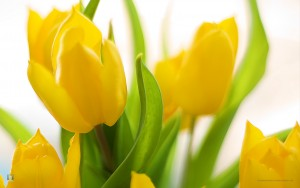 Spring tulips clip art